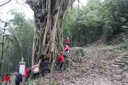 高达30余米,长在两山之间的千年大榕树,远远看去,就像两座山中间突起