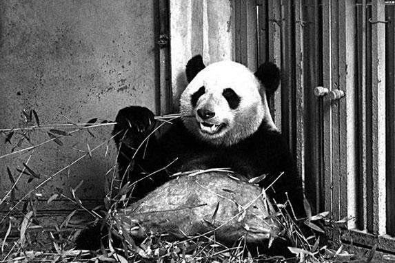 """今报记者在成都大熊猫繁育研究基地探访时,""""蜀琳""""(上图)、""""明浜""""(下图)哥俩正在享用午餐,它们一个调皮地吐出舌头,另一个则幸福地啃着竹子。记者王剑 摄   广西新闻网成都讯(记者王剑 通讯员何鸿杰)四川成都大熊猫繁育研究基地的两只""""国宝""""大熊猫,今日将按原定计划""""飞""""来广西,并住进柳州市动物园为它们精心打造的园林式别墅。昨日,记者在成都见到了即将远行的""""明浜""""和""""蜀琳&"""