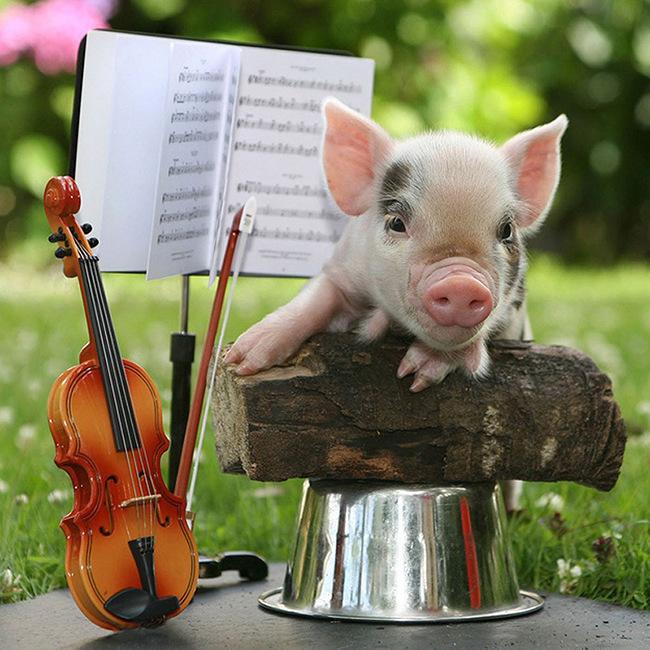 宠物猪/在宠物已经成为人类好朋友的时代,很多人也会饲养宠物猪作为...