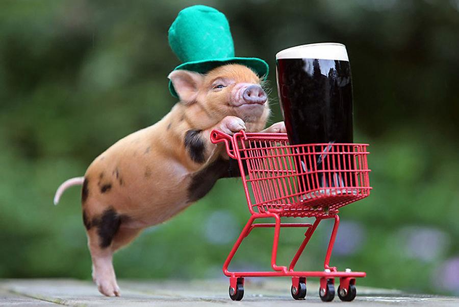 宠物猪 创意/在宠物已经成为人类好朋友的时代,很多人也会饲养宠物猪作为...