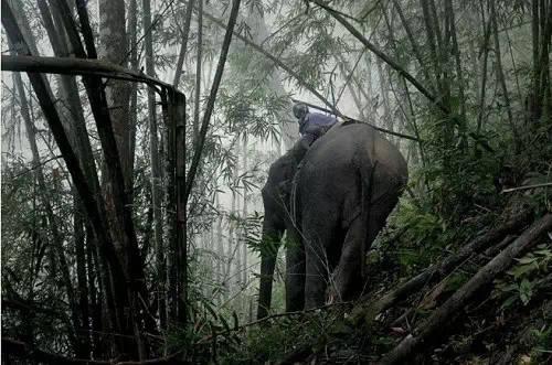 大象在用头将木头拱下山-老挝大象背上的悲伤