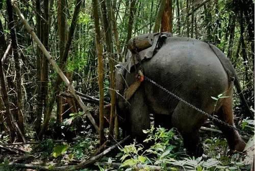 大象从山上将木材运至河谷,再由河谷运至湄公河边-老挝大象背上的