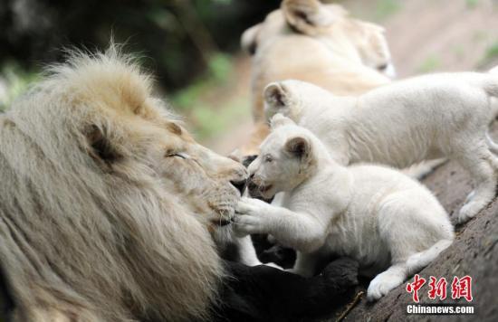 泰国清迈动物园四胞胎小白狮亮相