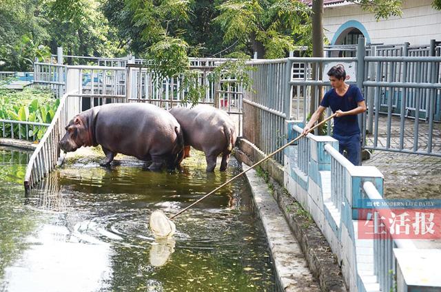 据南宁动物园动物管理科科长陈崇涛介绍,河马觅食,交配,产仔,哺乳都