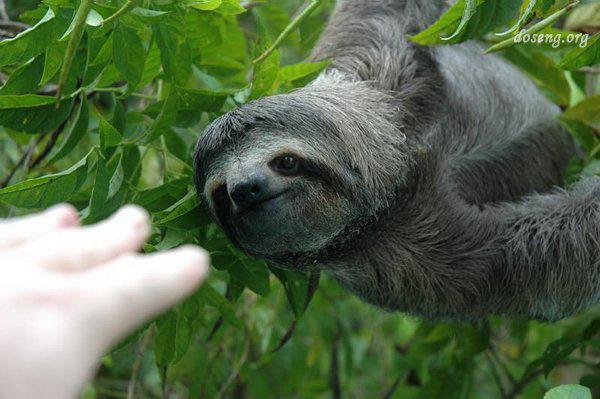 树懒是一种懒得出奇的哺乳动物