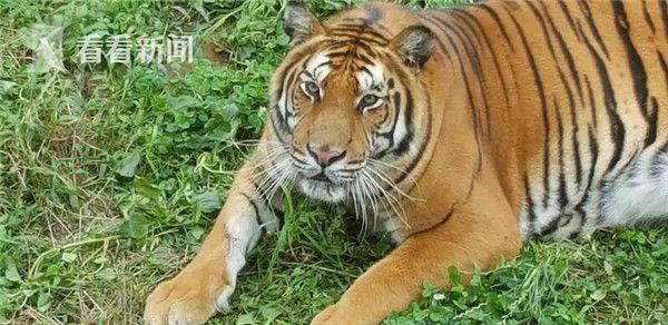 老虎头像活泼可爱
