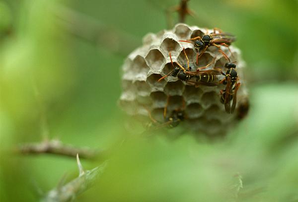马蜂的结构示意图