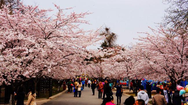 今年青岛中山公园的樱花什么时候开?花期是多少天?