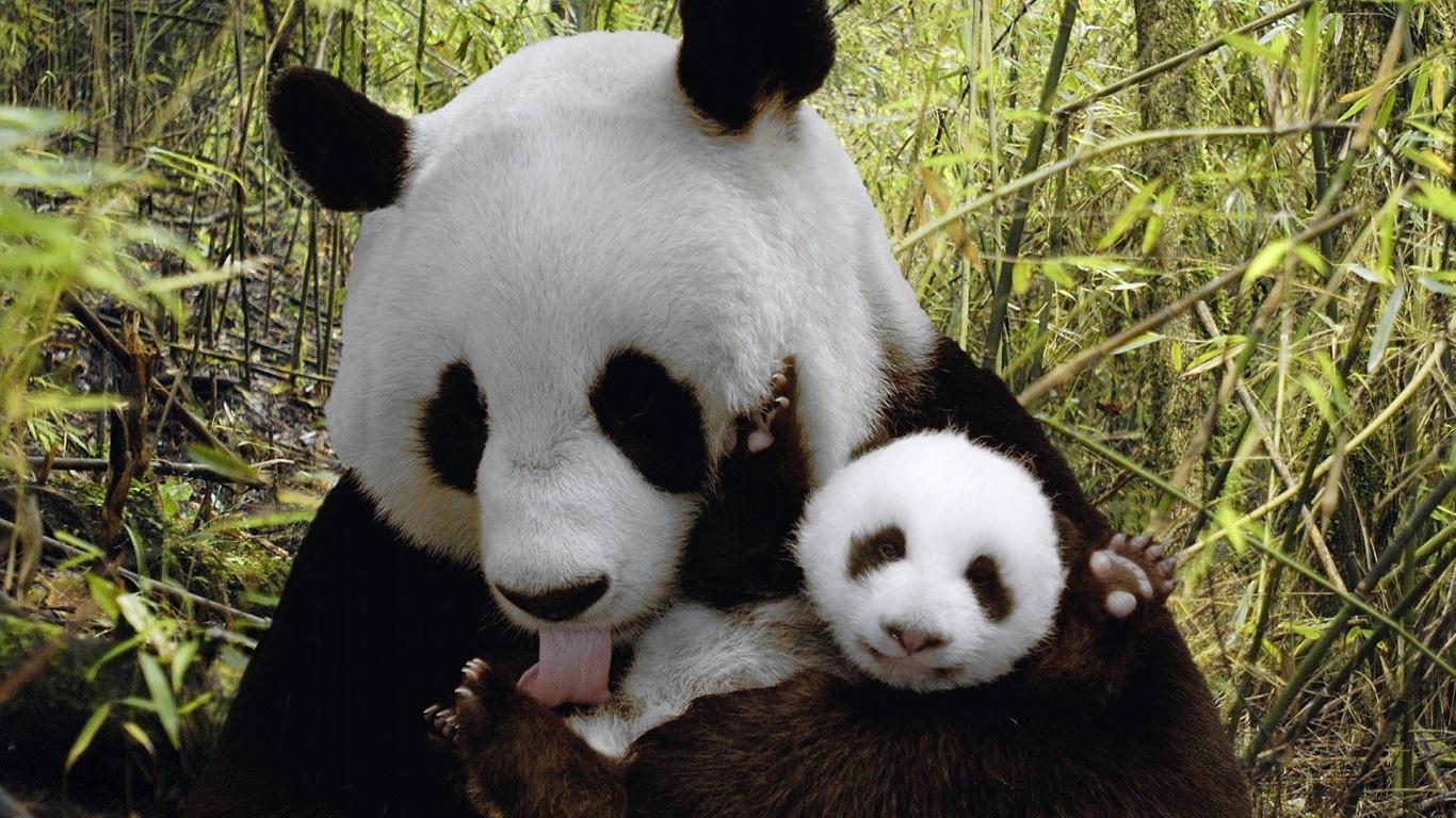 ta是世界上最可爱的动物之一——大熊猫,爱称滚滚.