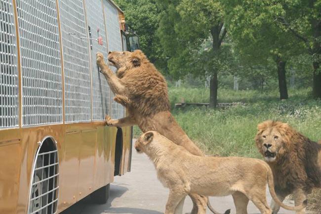 游览野生动物园曾被评为八大危险玩乐项目之一,小伙伴们游览时一定要