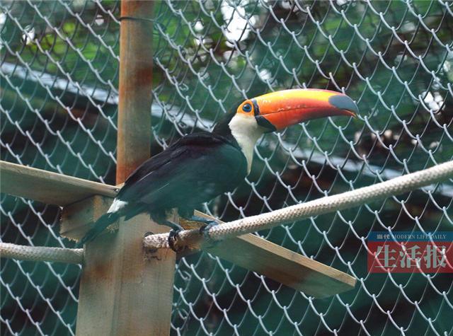 近日,10只来自南美洲的鞭笞巨嘴鸟乘坐飞机到达了南宁市动物园,落户