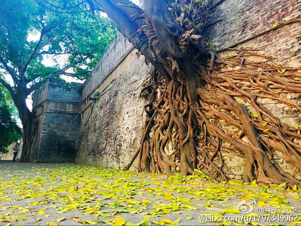 古城墙上攀爬着斑驳的树根.每年十月,落叶满地,一地金黄.