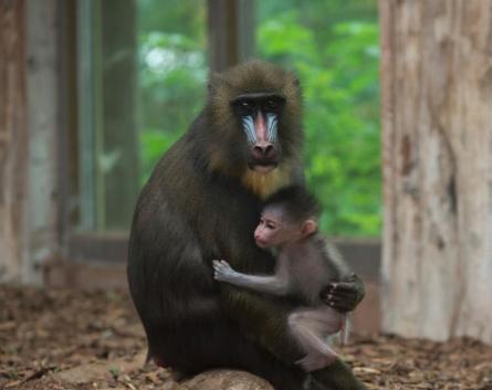巴黎动物园50只狒狒出逃 园方紧急疏散参观民众