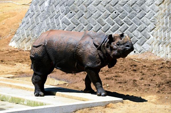 日本多摩动物园一饲养员遭犀牛袭击 惨死园内(图片来源:朝日新闻网站) 人民网东京8月26日电 据《朝日新闻》网站报道,25日上午10时50左右,东京都日野市的多摩动物园一名工作人员发现一名同事倒在印度犀牛饲养区,随即报警。据警方介绍,受害人为54岁的浅见准一,他在被送往医院后确认死亡,侧腹和背部有内出血,警方认为其死前曾遭受到了犀牛的袭击。  受害饲养员被发现的区域并非面向公众游客的区域,而是另外隔离开来的饲养区内的兽笼旁的员工通道。除内出血外,受害饲养员还有肋骨骨折,很可能是被笼子中的犀牛用尖角袭击。